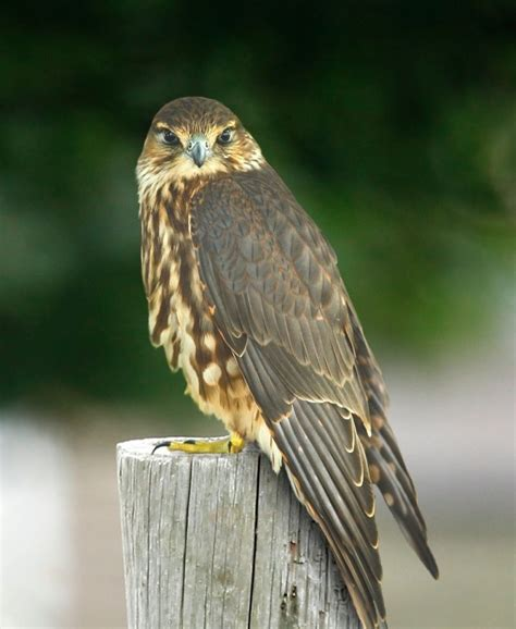 Looks like this Hawk is staring you down! #photographytalk