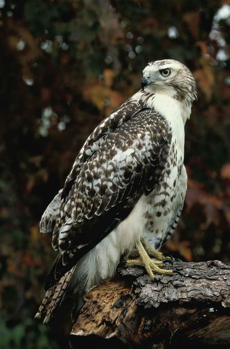 Free picture: up-close, red, tailed, hawk, standing, log