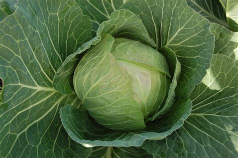 Cabbice F1 | Cabbage Seeds | Kings Seeds