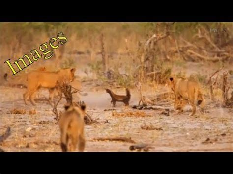 Brave Honey Badger takes on pride of LIONS and holds them