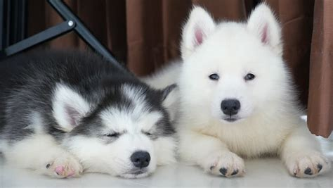 Two Siberian Husky Puppies Resting Stock Footage Video
