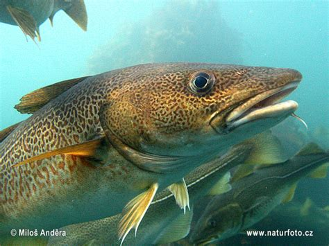 Gadus morhua Pictures, Atlantic Cod Images, Nature