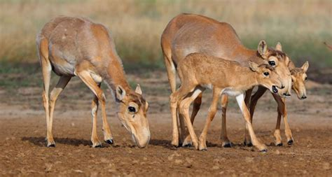 Here's why so many saiga antelope mysteriously died in