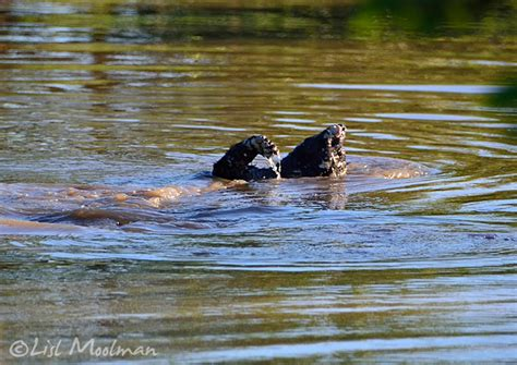Honey badger on a croc's menu - Africa Geographic